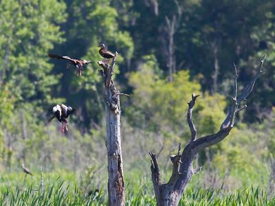 Black-bellied Whistling Ducks IMG_2373