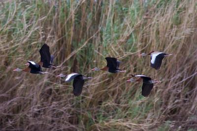 Black-bellied Whistling Ducks IMG_7438