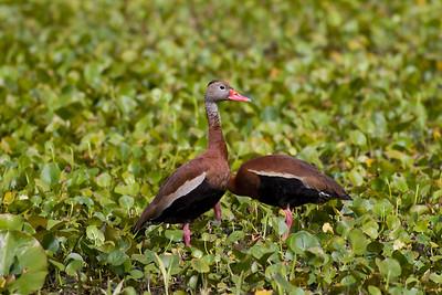 Black-bellied Whistling Ducks IMG_5586