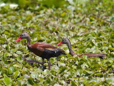 Black-bellied Whistling Ducks IMG_2502