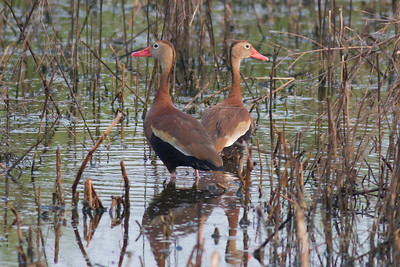 Black-bellied Whistling Duck  IMG_1993