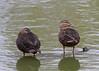 Mottled Ducks  IMG_7268