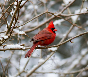 Northern Cardinal IMG_1222
