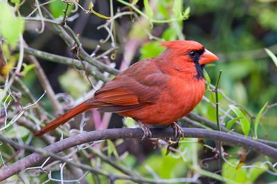 Northern Cardinal IMG_0868 rev 1