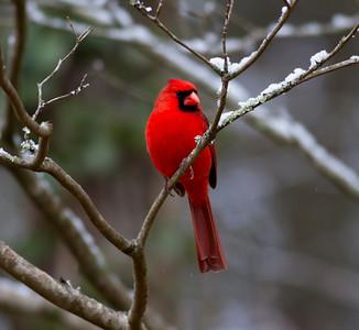 Northern Cardinal IMG_1235
