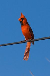 Northern Cardinal IMG_0772  rev 1