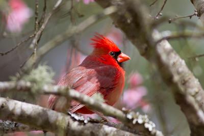 Northern Cardinal IMG_2157