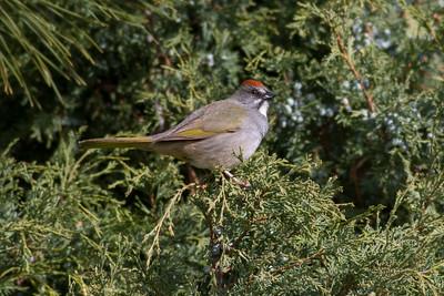 Green-tailed Towhee  IMG_6193