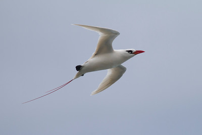 Red-tailed Tropicbird IMG_8416