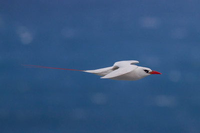 Red-tailed Tropicbird IMG_8351