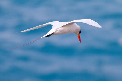 Red-tailed Tropicbird IMG_0556 rev 1