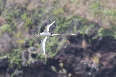 White-tailed Tropicbird IMG_8067
