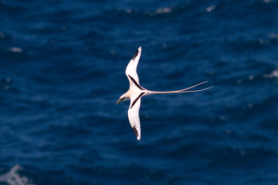 White-tailed Tropicbird IMG_0759 rev 1