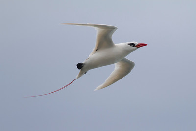 Red-tailed Tropicbird IMG_8415