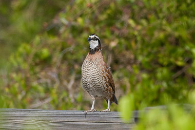 Northern Bobwhite IMG_2742 rev 1