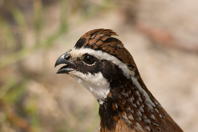 Northern Bobwhite IMG_2760  rev 1