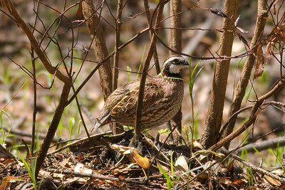 Northern Bobwhite IMG_1651 rev 1