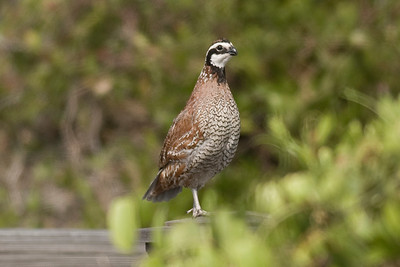 Northern Bobwhite IMG_2745 rev 1