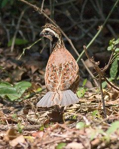 Northern Bobwhite IMG_0859 rev 1 copy