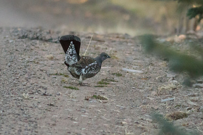Dusky Grouse IMG_7650