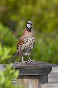Northern Bobwhite IMG_2747 rev 2