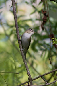 Red-eyed Vireo IMG_9447