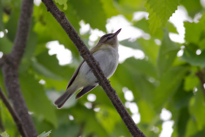 Red-eyed Vireo IMG_2734