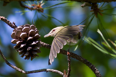 Red-eyed Vireo IMG_0083