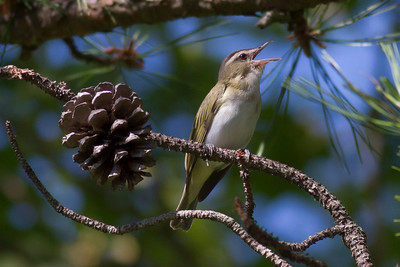 Red-eyed Vireo IMG_0054