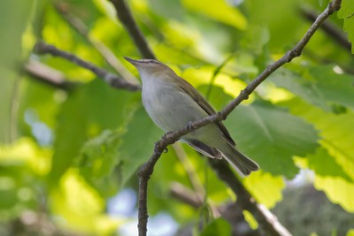 Red-eyed Vireo IMG_2762