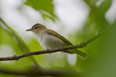 Red-eyed Vireo IMG_2774
