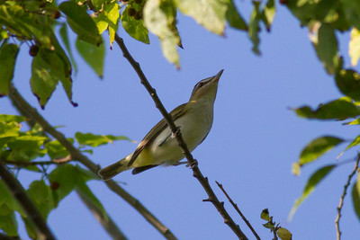 Red-eyed Vireo    IMG_0176