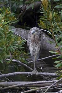 Black-crowned Night Heron IMG 1037