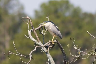 Black-crowned Night Heron IMG_0721 rev 1