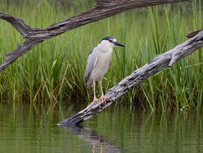 Black-crowned Night-Heron IMG_3608 rev 1