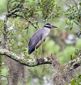 Black-crowned Night-Heron IMG_3584 rev 1
