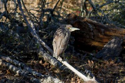 Black-crowned Night Heron (Juvenile) IMG_0065