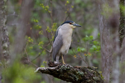 Black-crowned Night Heron IMG_2315