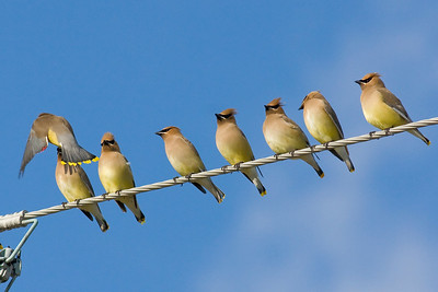 Cedar Waxwings IMG_8833 rev 1