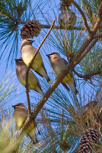 Cedar Waxwings IMG_8827 rev 2
