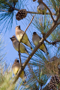 Cedar Waxwings IMG_8824 rev 1