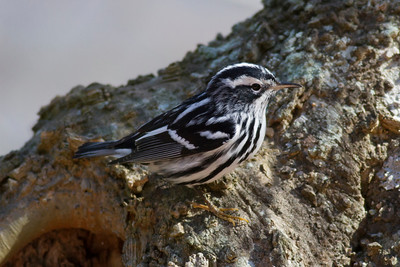 Black-and-white Warbler IMG_1175