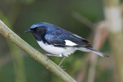 Black-throated Blue Warbler  IMG_1695 rev 1