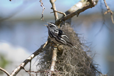 Black-and-white Warbler IMG_1164