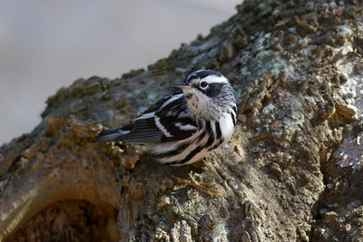 Black-and-white Warbler IMG_1177