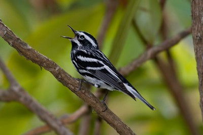 Black-and-white Warbler IMG_2725
