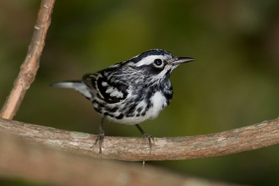 Black-and-white Warbler IMG_2723