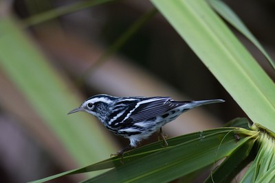 Black-and-white Warbler IMG_1365
