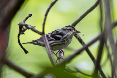 Black-and-white Warbler IMG_0594