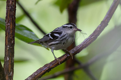 Black-and-white Warbler IMG_0581